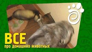 Все О Домашних Животных. Как Живут Вместе Собака, Кошка И Хорек.