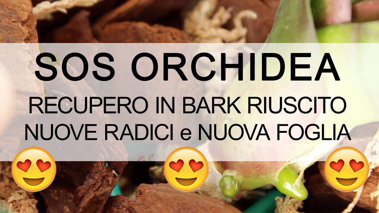 Sos orchidea recupero riuscito nuove radici youtube for Orchidea foglie gialle