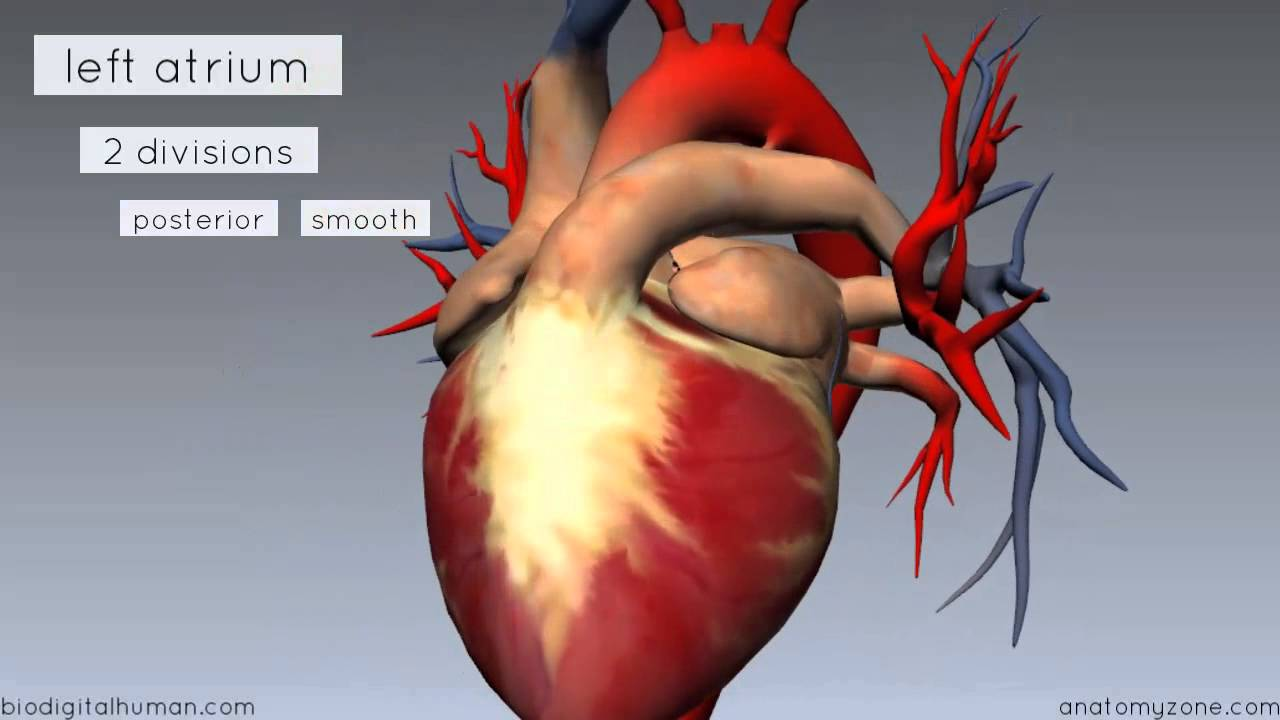 heart anatomy - left atrium - 3d anatomy tutorial - youtube, Human Body