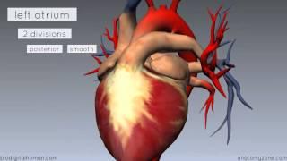 Heart Anatomy - Left Atrium - 3D Anatomy Tutorial