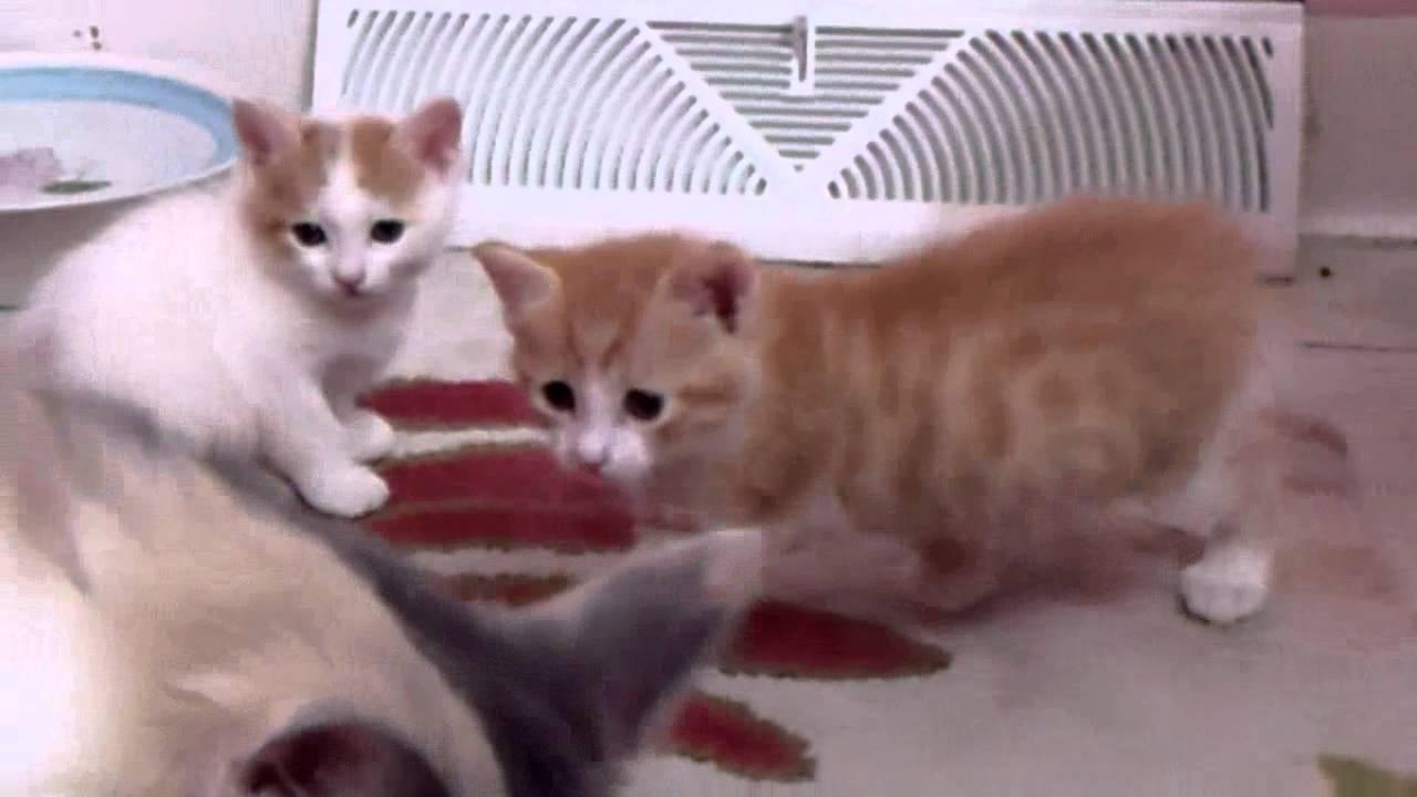 Miss Marigold s Litter of Three Japanese Bobtail Kittens
