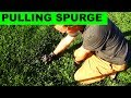 Hand Pulling Spurge From The Lawn - Relaxing, and Effective!