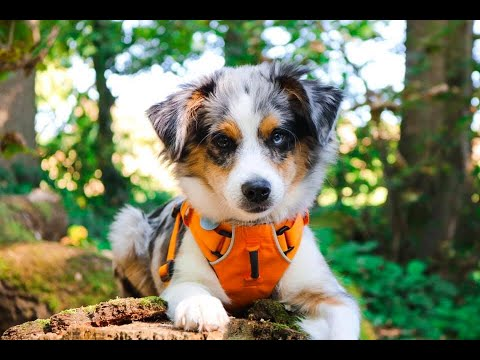 Levi The Mini Australian Shepherd Puppy