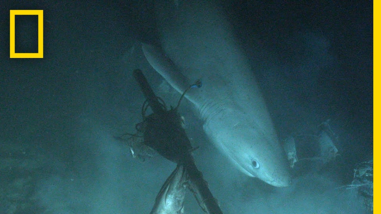 Shark Tagged From Submarine For First Time In History   National Geographic
