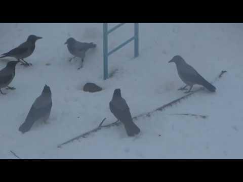 Вопрос: Крысы ловят ли и едят птиц?