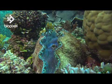 Oceanpedia   Critter finder   Mollusc   Bivalves