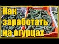 СУПЕР  способ выращивания огурцов в открытом грунте / Выращивание огурцов от рассады до сбора урожая
