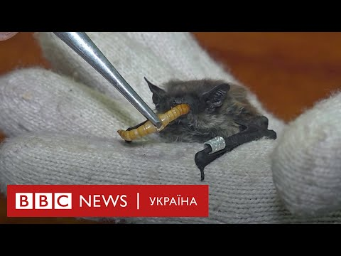 Як у Харкові рятують кажанів
