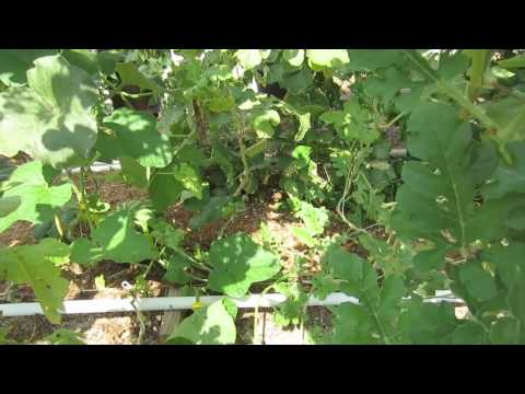 How To Hand Pollinate Watermelon, Cantaloupe & Cucumbers