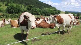 Portrait d'une vache - Teranima TV