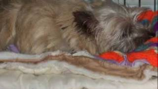 Col. Potter Cairn Terrier Rescue/foster Glamour #3388