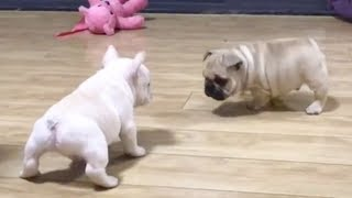 Try Not To Laugh Challenge  Funny Dog Vines Compilation 2019