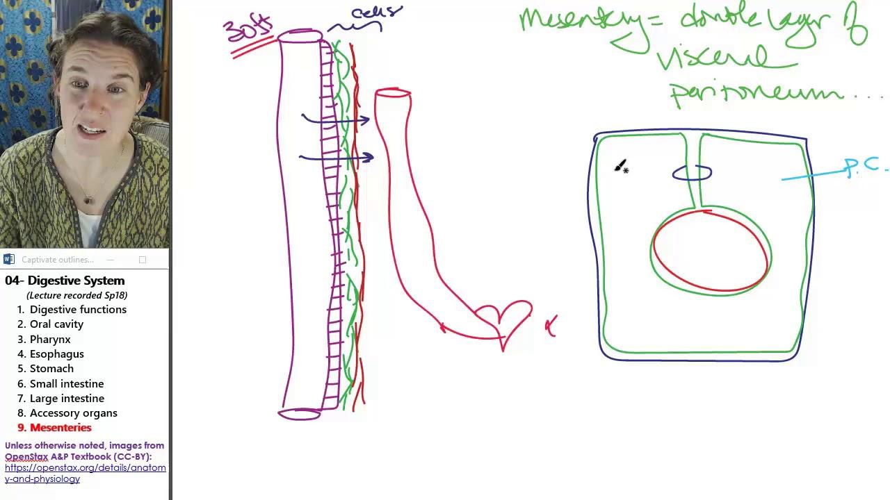Digestive system 9- Mesenteries - YouTube