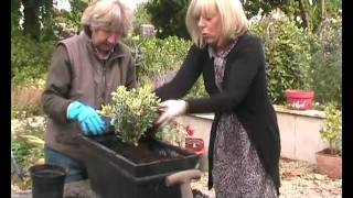 Window Box Pansies & Hebe For Winter.wmv