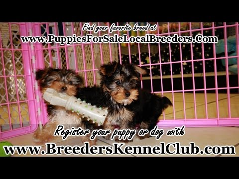 Yorkie Poo, Puppies For Sale, In Mobile, County, Alabama, AL, 19Breeders, Tuscaloosa, Decatur