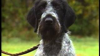 German Wirehaired Pointer - Akc Dog Breed Series