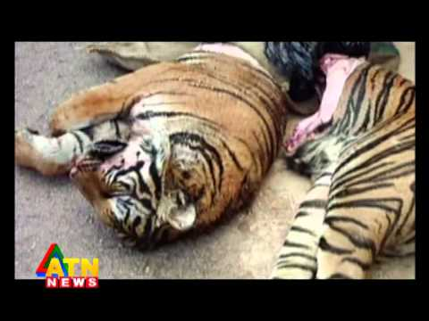 Wildlife news of Sundarbon, Bangladesh - Tiger News series - 1