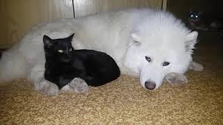 Дружба собаки и кошки. Самоеды в аренду. Собаки для съемок
