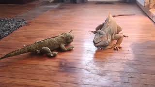 Бій ігуани з іграшкою