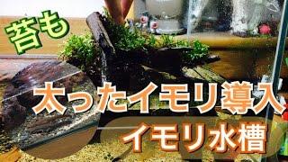 【アクアリウム】イモリ水槽に太ったイモリ&苔導入【アクアテラリウム】