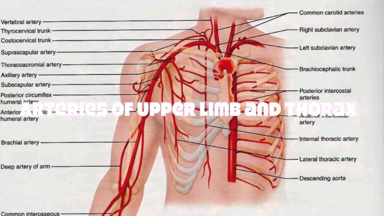 Veins and Arteries of the Upper Human Body Tutorial  YouTube