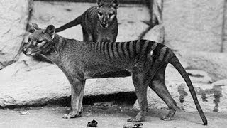 Focus on Species: Thylacine (Thylacinus cynocephalus)