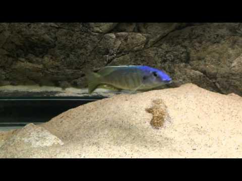 Otopharynx sp. Torpedo blue Tanzania territorial male - PISCES