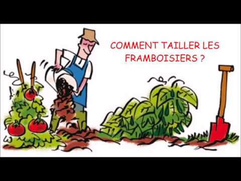 Comment tailler les framboisiers youtube - Comment tailler les framboisiers ...