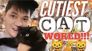CUTEST CAT REACTIONS | Persian Himalayan x American Shorthair Cat Breeds