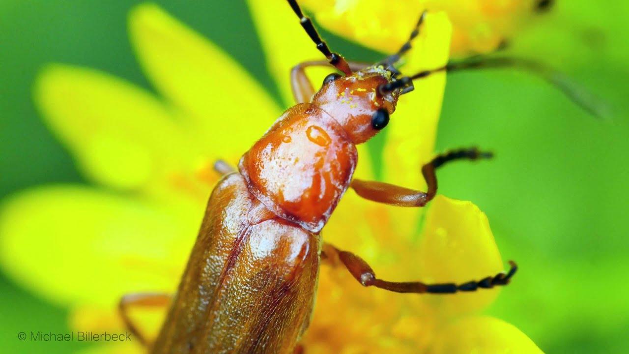 common red soldier beetle or bloodsucker beetle