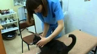 Зверская жизнь.Почему болеют кошки