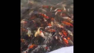 Азербайджан город Гянджа!парк .Рыбки аж выпрыгивают из озера!(, 2016-07-11T12:24:25.000Z)
