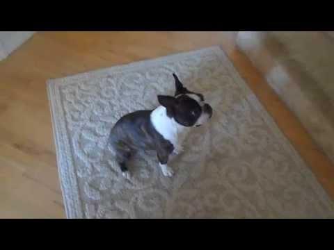 Service Dog Task Training with Izumi the Boston Terrier