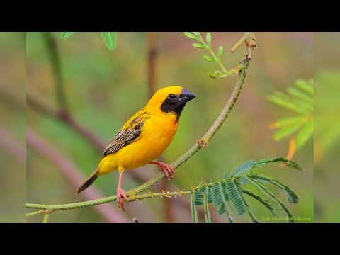 download free burung manyar gacor masteran mp3 lagu fun