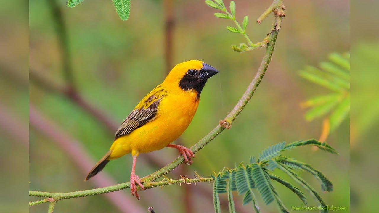 Suara Burung Manyar Audio Terapi Masteran Youtube
