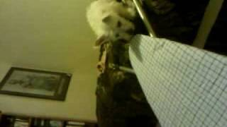 Westie Puppy Utah Climbing Down Bed On Iron Board