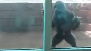 Девочка играет с детенышем гориллы(, 2013-10-01T06:32:38.000Z)