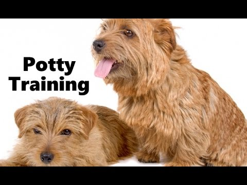 How To Potty Train A Norfolk Terrier Puppy - Norfolk Terrier Training - Norfolk Terrier Puppies