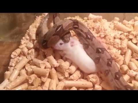Удав ест мышь. Boa Eating A Mouse