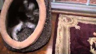 Cody Loves His Cat Bed :: Rare Brown And White Miniature Schnauzer Puppy