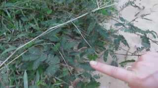 Цветок, сворачивающий листья (Мимоза стыдливая)
