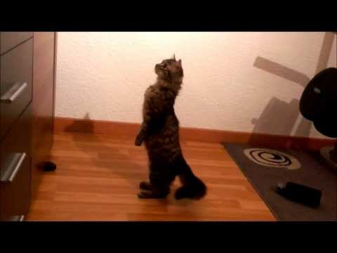 Sweet standing cat – Funny cat video FAIL
