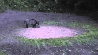 Охота на кабана на кормушке видео
