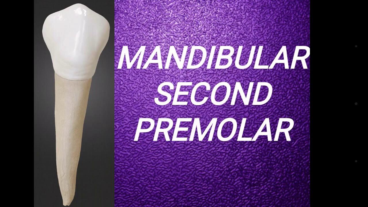 Mandibular second premolar - YouTube