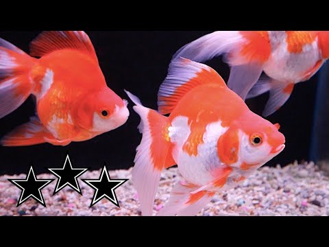 Star Fisheries Open Day 2018 UK Fancy Goldfish Importer 金​魚 Ranchu Ryukin Oranda Goldfish Pond