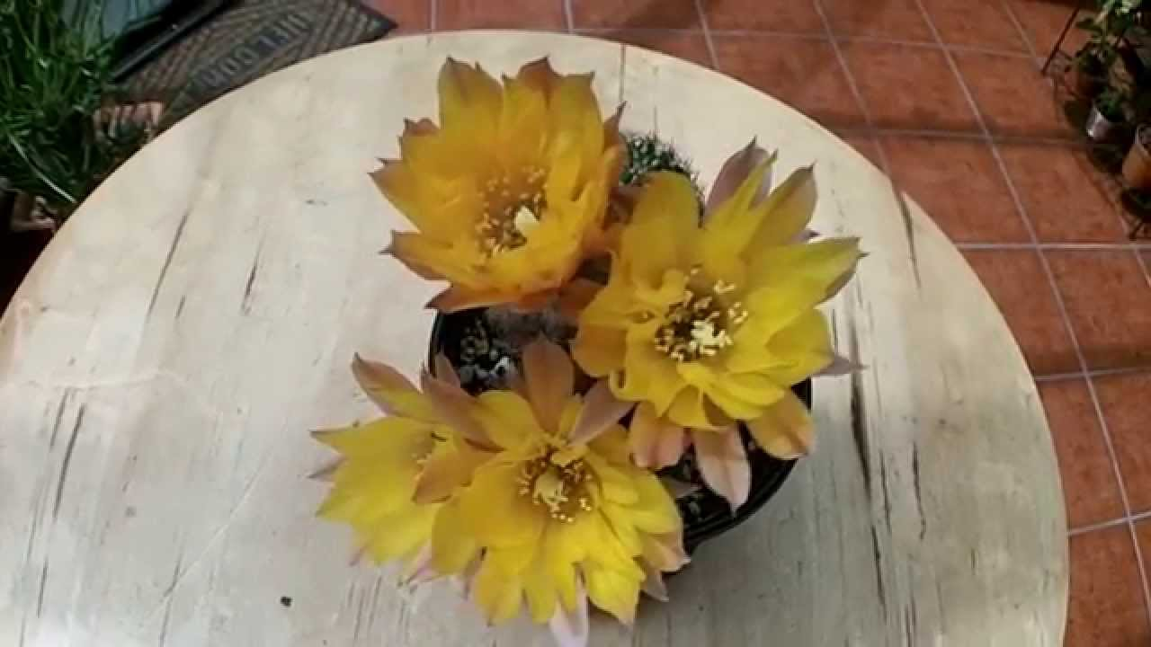 Chamaecereus Peanut Cactus Yellow Bird With Flowers And Buds