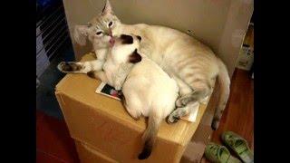 Нежность: тайский кот очень нежен с котёнком! Смотреть всем! Тайские кошки - это чудо! Funny Cats