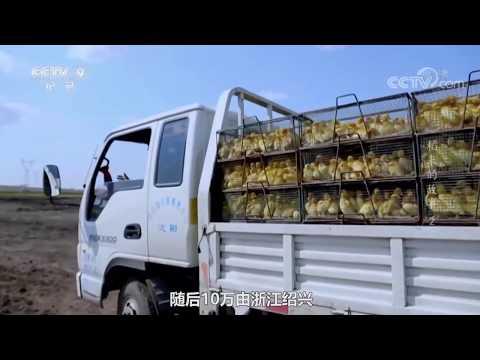 10万只浙江鸭出征巴基斯坦,能灭蝗虫全家,为何鸭子是治蝗奇才?