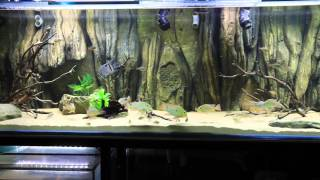south american cichlid community tank close up