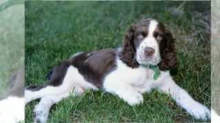Training Springer Spaniel Puppy
